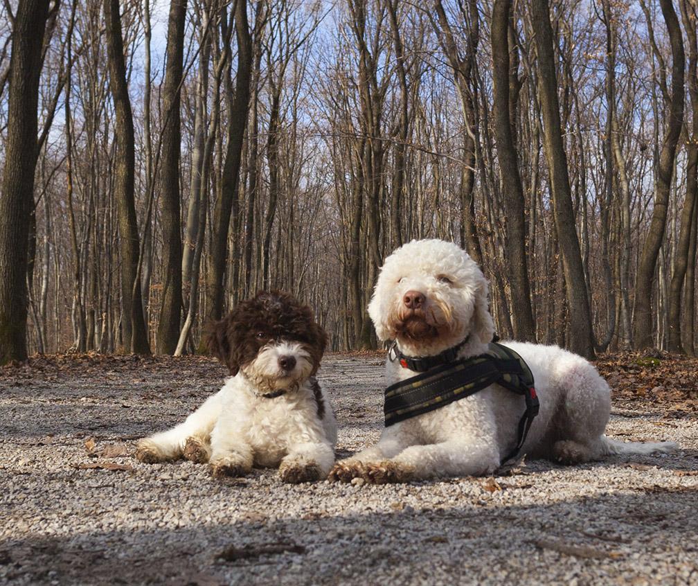 Lagotto Truffle Dogs: Truffle Hunting Zagreb